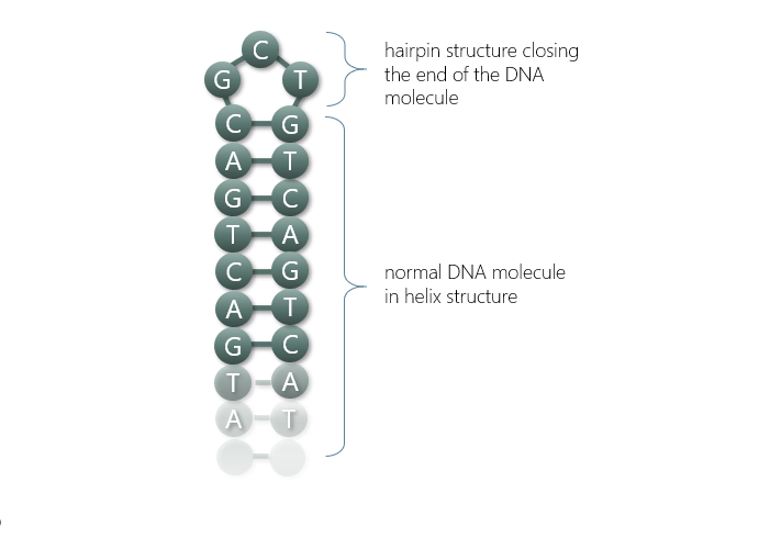 Dna Hairpin